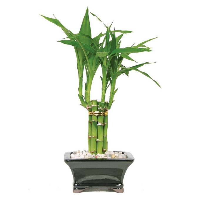 Housewarming Gift Ideas - Good Luck Bamboo